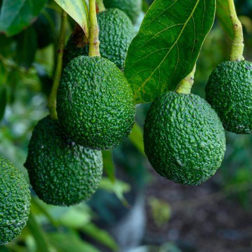 Avocado-Oil-Vegan-Skin-Care-Garden-Las-Vegas