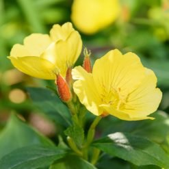 Evening-Primrose-Oil-Vegan-Skin-Care-Garden-Las-Vegas