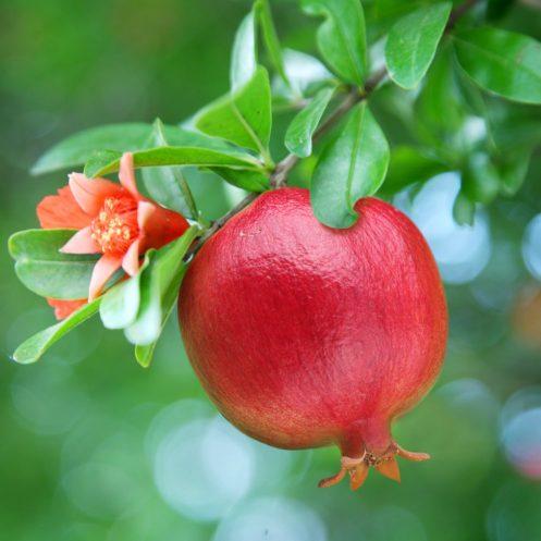 Pomegranate-Seed-Oil-Vegan-Skin-Care-Garden-Las-Vegas