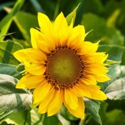 Sunflower-Seed-Oil-Vegan-Skin-Care-Garden-Las-Vegas