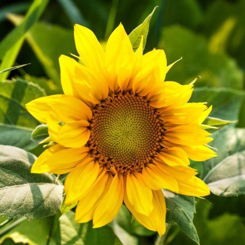 Sunflower-Seed-Oil-Vegan-Skin-Care-Garden-Las-Vegas
